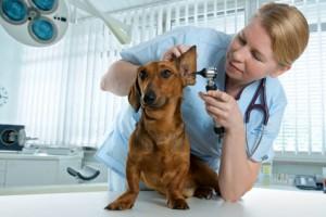 Dackel Untersuchung Tierarzt