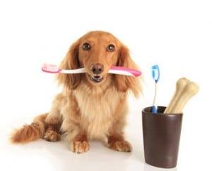 Zahnpflege Teckel