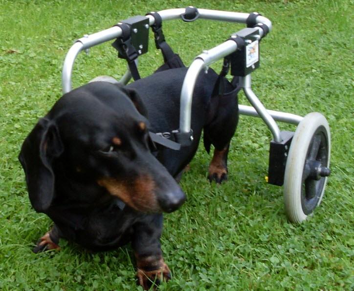 Dackel Ingo nach einer Operation mit verschiedenen Komplikationen in einem Rolli.