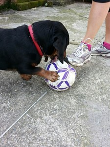 Dackel mit Fußball beschäftigen
