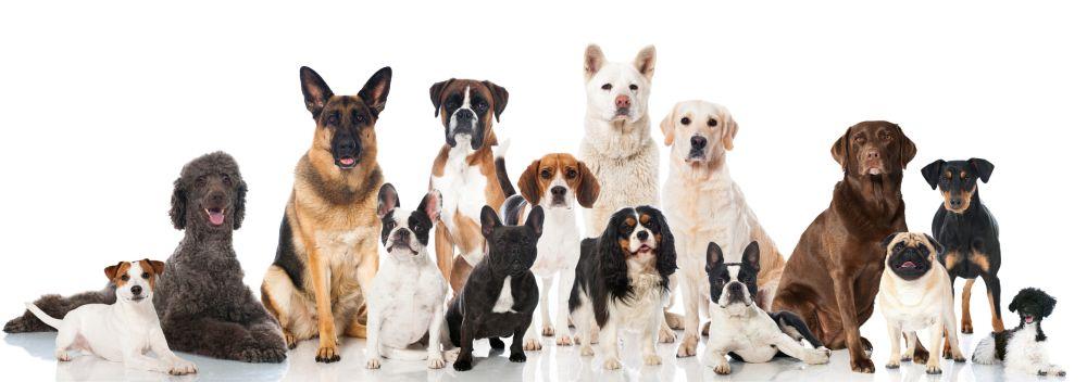 Lebensdauer des Dackel im Vergleich mit anderen Hunderassen