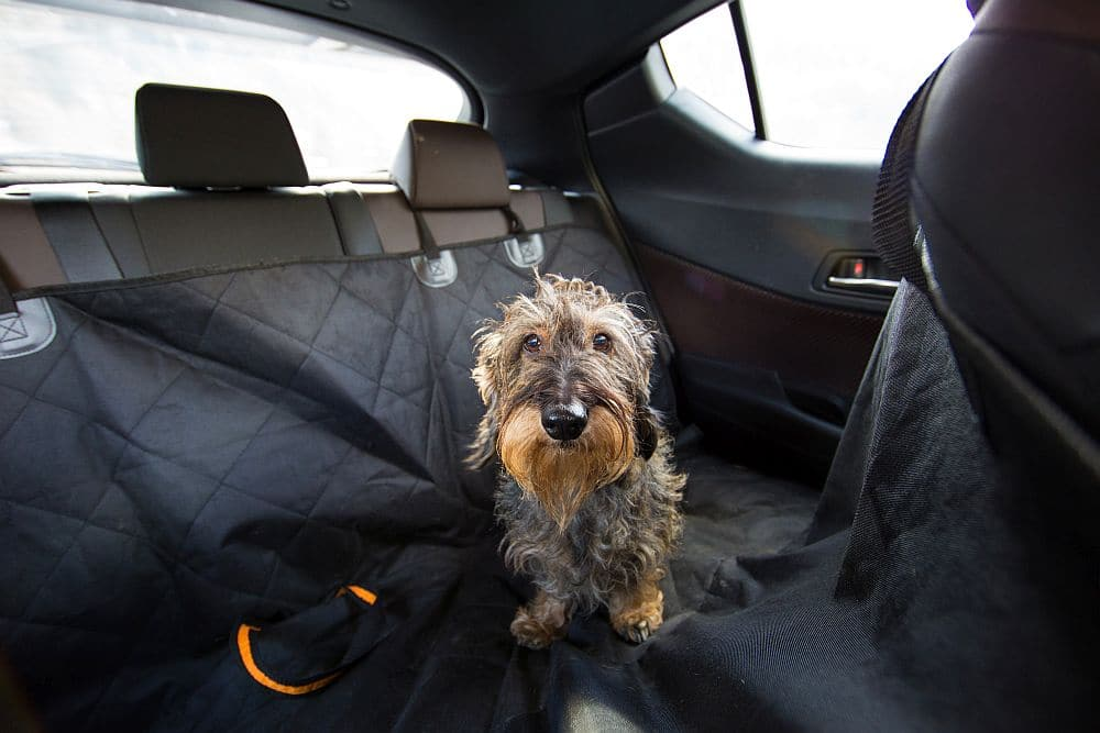 Dackel im Auto auf dem Rücksitz