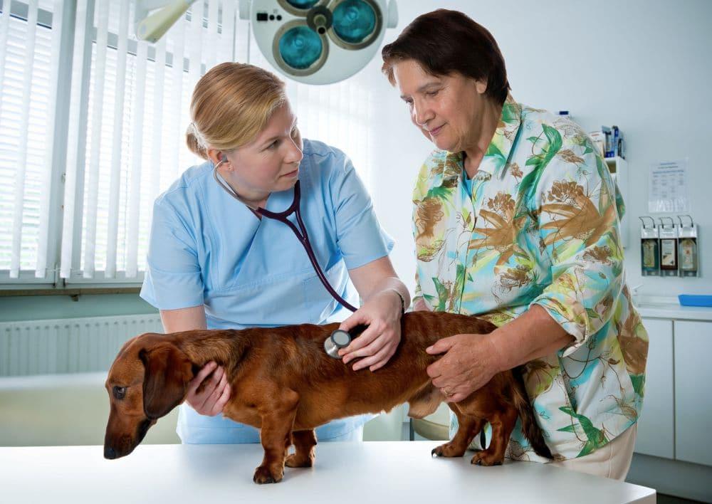 Dackel beim Tierarzt - Untersuchung Dackellähmung