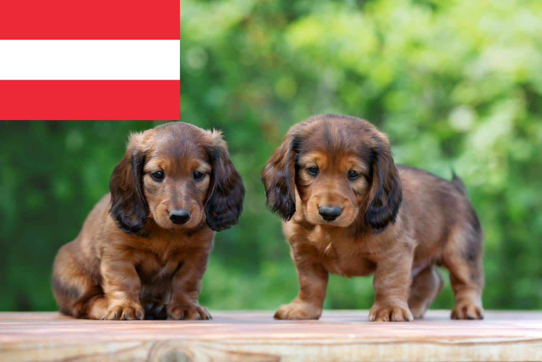 Dackel Züchter in Österreich