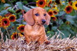 Dachshund Puppy Dog & Sunflowers
