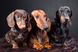 three dachshund dogs