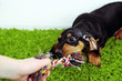 Cute dachshund puppy on green carpet
