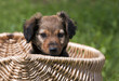 Cute dog puppy sitting in a basket